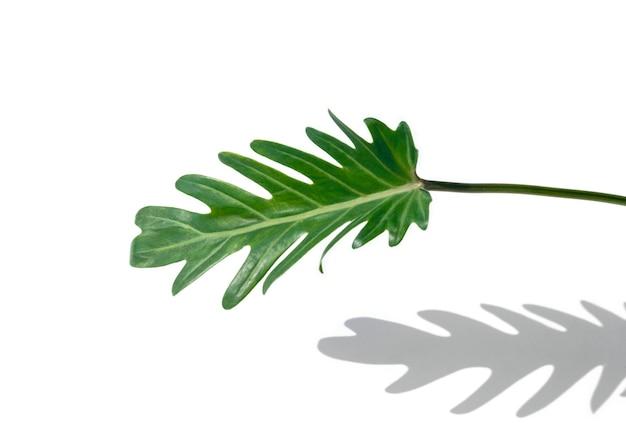 Primo piano alla foglia verde fresca di philodendron xanadu