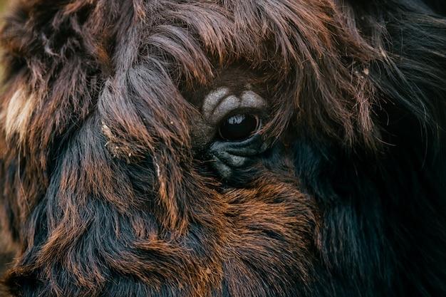 Primo piano del yak tibetano simile a pelliccia