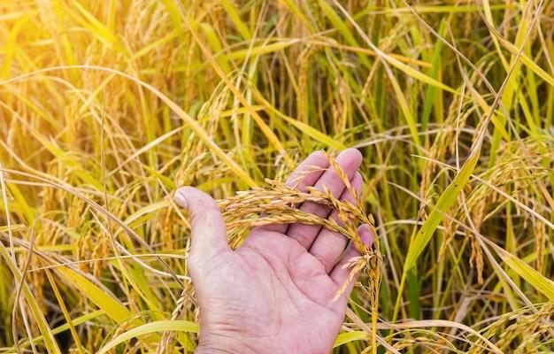 Primo piano della risaia gialla dorata in mano pronta per il raccolto