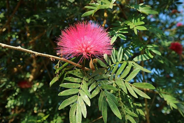 Primo piano uno splendido fiore di seta persiano in fiore rosa caldo o albizia julibrissin sull'albero