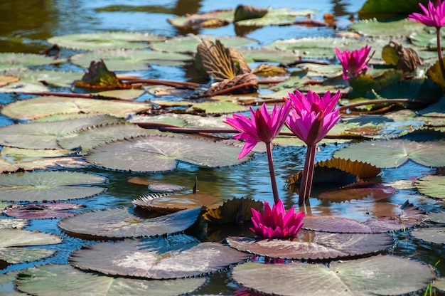 Primo piano di un grazioso e delicato fiore di loto rosa che fiorisce circondato dalle sue foglie strutturate