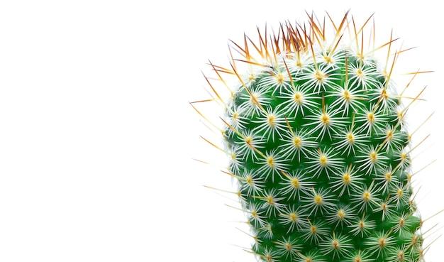 Cactus verde del primo piano isolato sulla superficie bianca