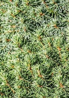 Foglie verdi del primo piano della conifera sempreverde decorativa picea glauca attillata canadese con le gocce