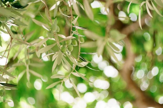 Un primo piano di frutta di oliva verde sui rami dell'albero tra il fogliame