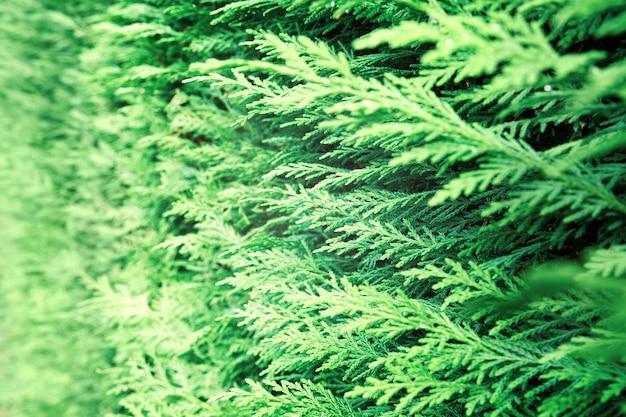 Primo piano della thuja occidentalis verde. foglie verdi fresche, rami di alberi di thuja si chiudono. thuya