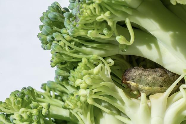 Un primo piano di green vein caterpillar che mangia un cavolfiore. piano di kerup caterpillar. concetto di demolizione degli insetti in agricoltura.