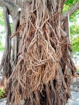 Primo piano che cresce radici esterne marroni sul tronco d'albero