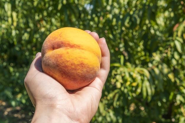Un primo piano di una mano che seleziona una pesca organica da un albero da frutto nel campo