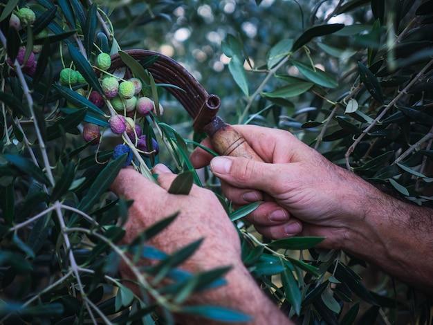 Primo piano delle mani di un contadino che sta raccogliendo olive arbequina in un oliveto in catalogna