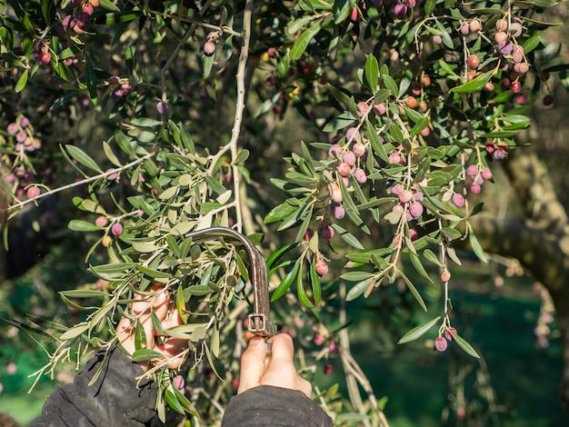 Primo piano delle mani di un giovane che sta raccogliendo olive arbequina in un uliveto in catalogna