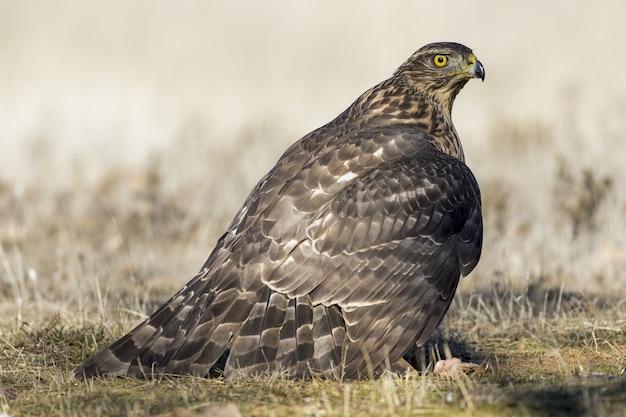 Primo piano di un falco a terra pronto a volare sotto la luce del sole su uno sfondo sfocato
