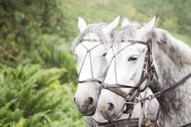 Ritratto della testa del primo piano di una squadra di due cavalli grigi punteggiati in un cablaggio del carrello contro il fogliame verde