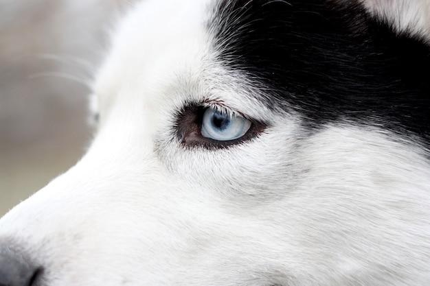 Primo piano dell'occhio azzurro husky. testa di cane husky.