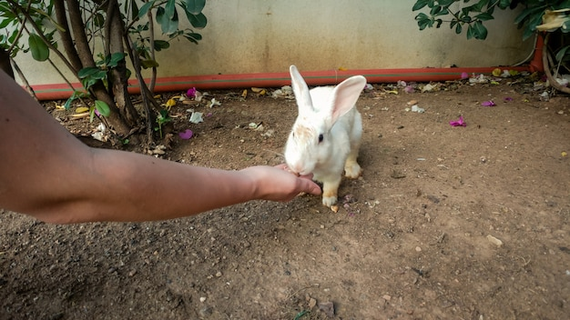 Immagine del primo piano di un simpatico coniglio bianco che mangia dalla mano della donna in fattoria