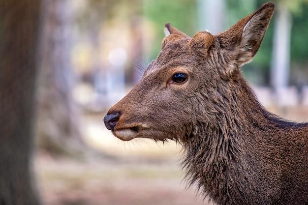 Immagine del primo piano di un cervo selvatico nel parco