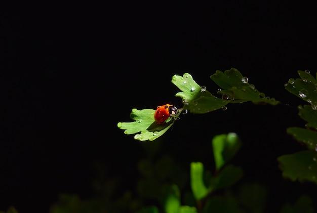 Primo piano coccinella su una foglia in un fascio di luce su uno sfondo scuro