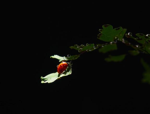 Coccinella del primo piano su una foglia in un fascio di luce su uno sfondo scuro