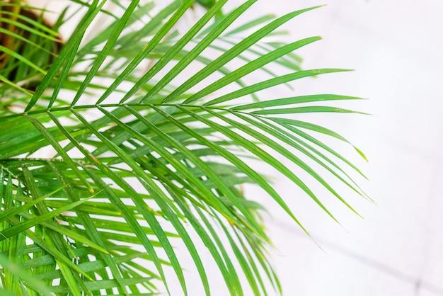 Primo piano sulle foglie di una palma di bambù chamaedorea seifrizii di piante da interno foglie verdi di piante da interno...