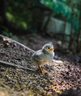 Primo piano di un pulcino carino solitario in posa sullo sfondo naturale