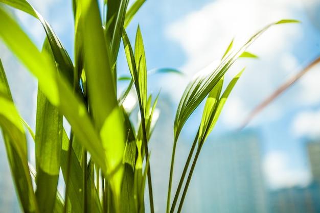 Primo piano di lunghe foglie verdi contro il sole e il cielo blu