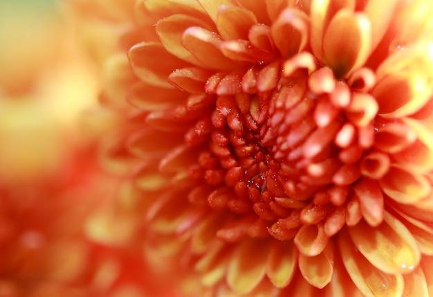Fiore dolce giallo arancione a macroistruzione del primo piano bello