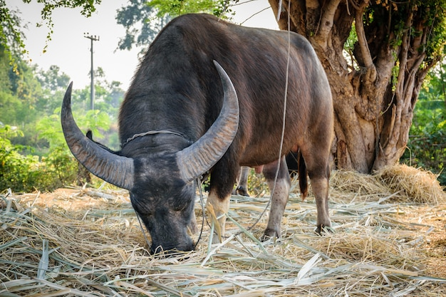 Primo piano della federazione di bufali maschi della tailandia.