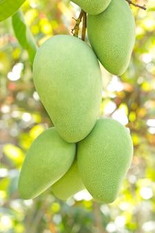 Primo piano del mango sull'albero con i frutti