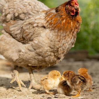 Primo piano di una madre di pollo con i suoi pulcini in fattoria. gallina con pulcini.