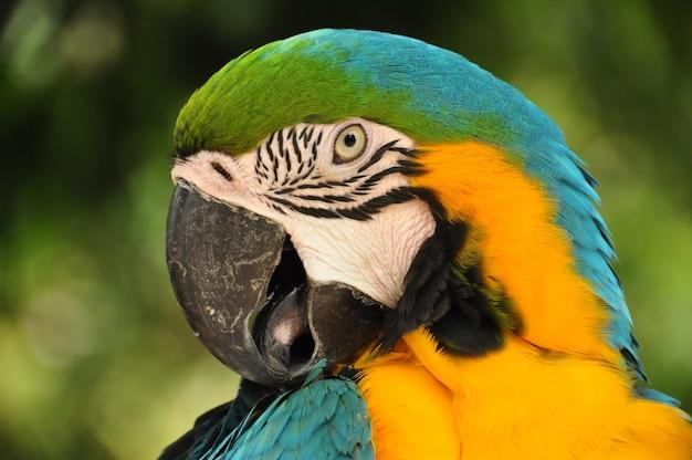 Primo piano di multicolore pappagallo ara. uccello blu e giallo del macaw nella natura selvaggia.