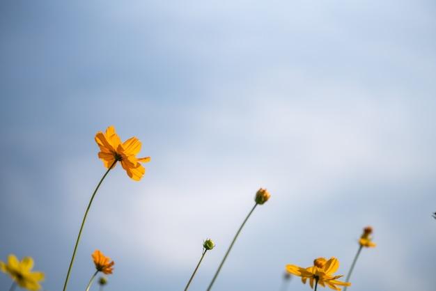 Primo piano della natura arancione e fiore giallo su cielo blu come sfondo sotto la luce del sole con bokeh e copia spazio utilizzando come sfondo il paesaggio di piante naturali, concetto di pagina carta da parati ecologia.