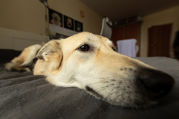 Primo piano di un cane divertente con lana beige che si rilassa a letto e guarda lontano a casa