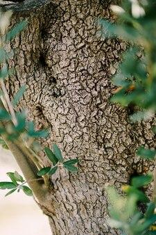 Un primo piano della trama del tronco di olivo