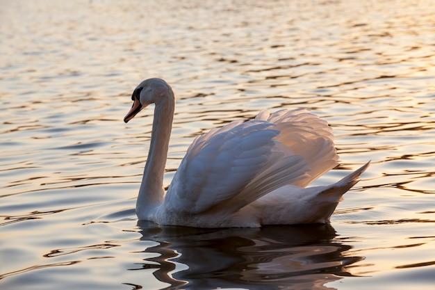 Primo piano un cigno bianco che galleggia allo stato selvatico