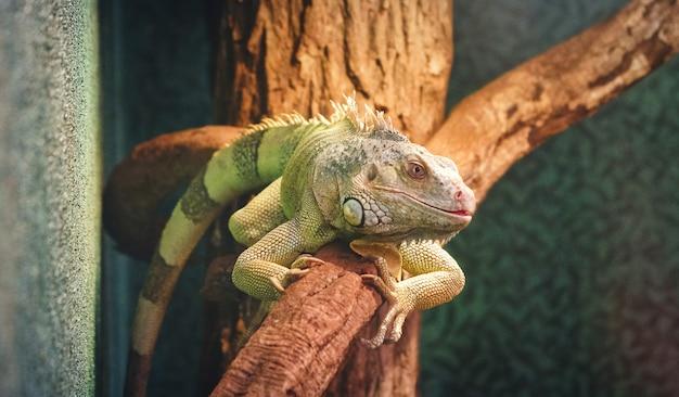 Primo piano di un camaleonte pantera su un ramo Foto Premium