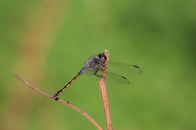 La foto del primo piano della libellula si appollaia sul ramo
