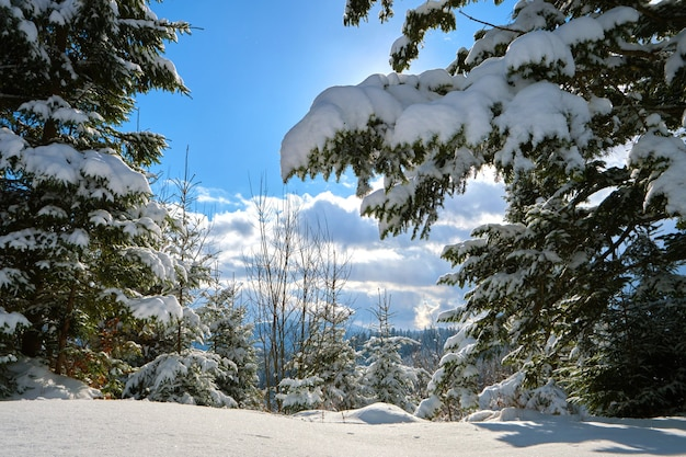 Primo piano di rami di pino ricoperti di neve fresca caduta nella foresta di montagna invernale in una fredda giornata luminosa.