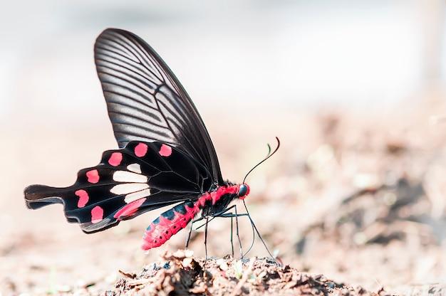 Farfalla rosa del primo piano, farfalla rosa comune nel fondo della natura