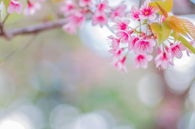 Fiori rosa del primo piano della ciliegia himalayana selvaggia (prunus cerasoides) con il bokeh vago del fondo, chiang mai, tailandia