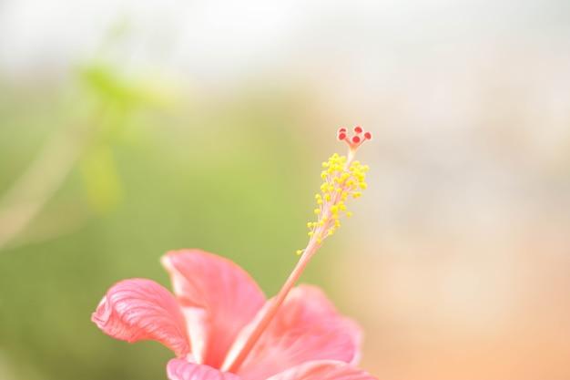 Primo piano di fiori di ibisco rosa bella sfocatura naturale con sfondo bianco e verde