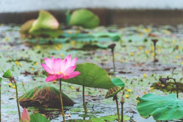 Fiore di loto rosa del primo piano con il morbido fuoco nei precedenti, sopra luce
