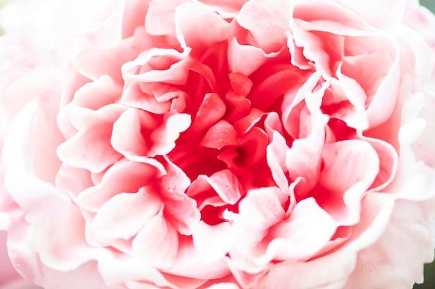 Primo piano di petali di peonia rosa