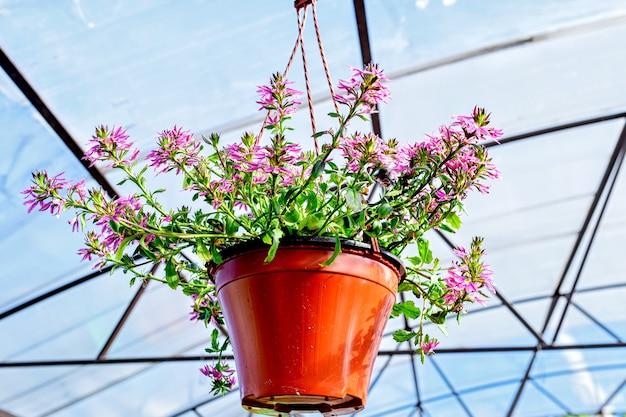 Primo piano di una fioriera con fiori di scaevola appesi a un appendiabiti nel centro giardino