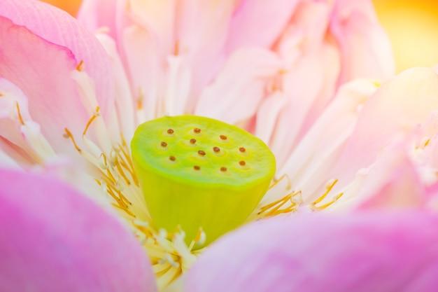 Polline del primo piano della causa del fiore di loto rosa della sindrome da allergia al polline.