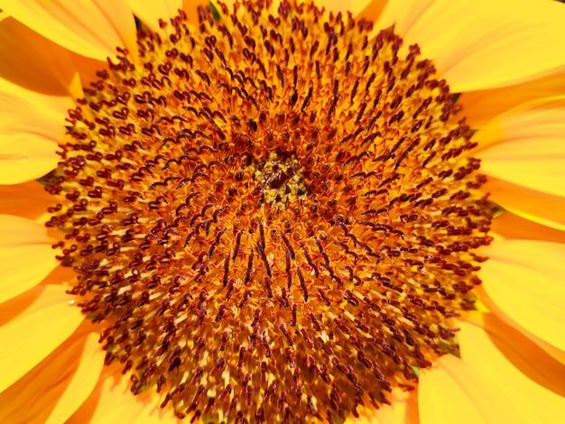 Polline di girasole in primo piano in giardino