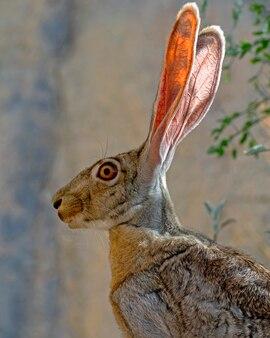 Closeup ritratto di un lepre dalla coda nera