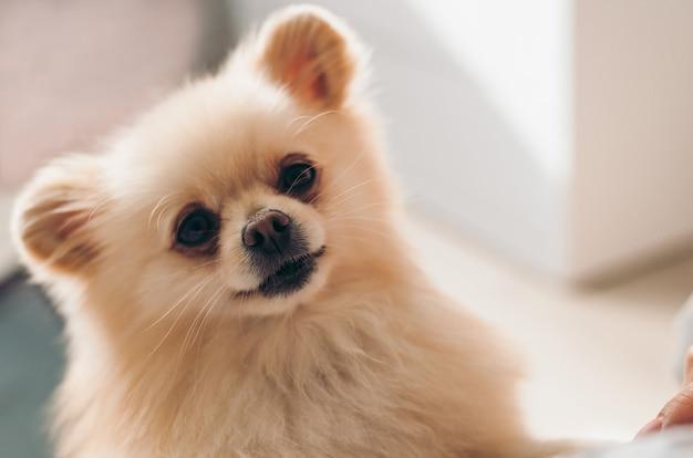 Closeup ritratto di un simpatico cucciolo di pomerania. cane che osserva nel telaio