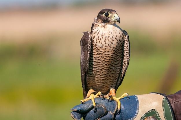 Ritratto del primo piano di un falco pellegrino che posa sulla mano del falconiere