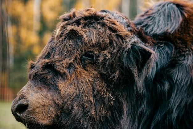 Ritratto del primo piano della museruola antica primitiva della bestia. volto peloso mammut peloso e divertente. specie preistoriche in via di estinzione in zoo. animale di mammifero arrabbiato pericolo selvaggio. yak mongolo in terreno selvaggio