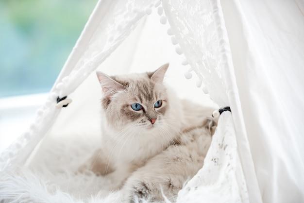 Ritratto del primo piano della madre del gatto ragdol con bellissimi occhi azzurri sdraiato con i suoi gattini addormentati all'interno della tenda bianca della tenda sulla pelliccia vicino alla finestra. adorabile famiglia felina di razza con gattino