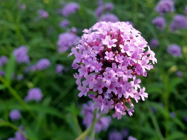 Fiore viola della verbena del primo piano nel campo della verbena